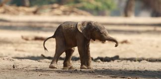 baby-elephant-takes-first-steps-featured-image