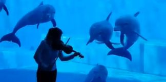 dolphins-swarm-violinist-aquarium-featured-image