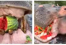 hippo-eating-watermelon-featured-image