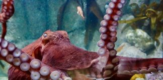 Octopus facts color changing octopus is sleeping and dreaming