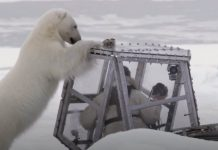 polar-bear-attack-featured-image